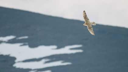 Der größte Falke der Welt hat ein Problem: den Klimawandel