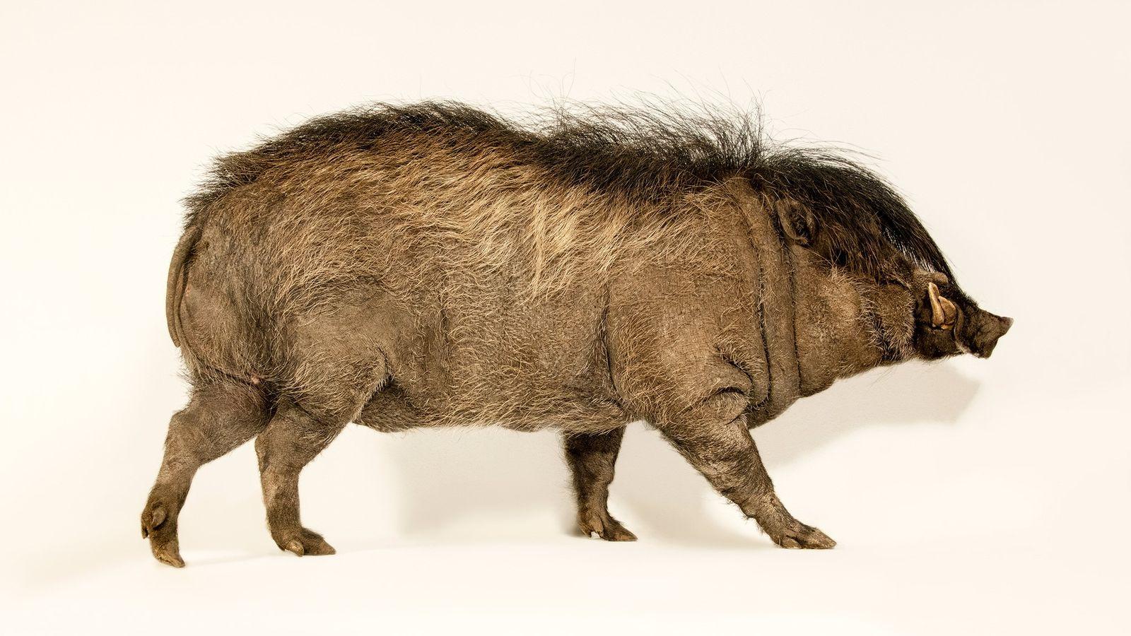 Jedes Jahr wächst männlichen Visayas-Pustelschweinen eine zottelige Mähne, die Weibchen einfach unwiderstehlich finden.