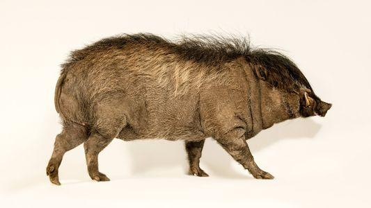 Minischwein mit Rockstar-Frisur steht vor Comeback in der Wildnis