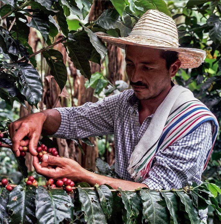 Die Wiederbelebung der Kaffeekultur in Caquetá geht weiter