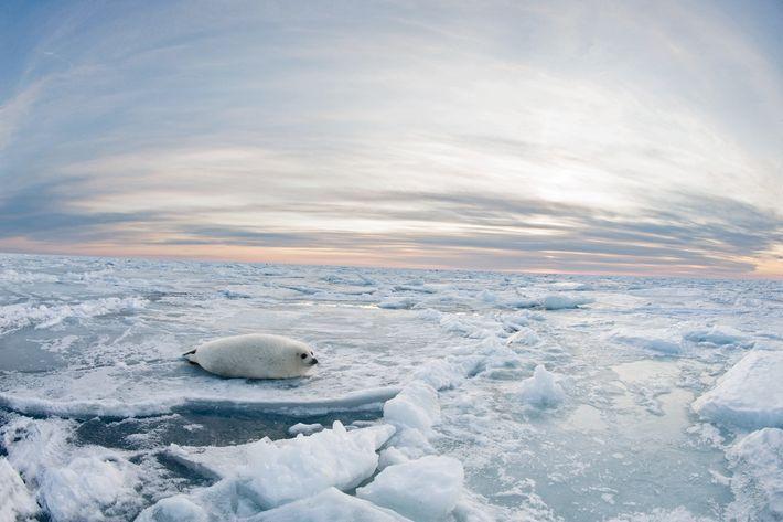 Die Magdalenen-Inseln liegen im Sankt-Lorenz-Golf, einem der beiden Gebiete, in denen die nordwestatlantischen Sattelrobben ihren Nachwuchs ...