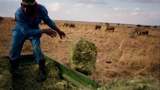 Galerie: Große Auktion nach Legalisierung des Verkaufs von Nashorn-Hörnern