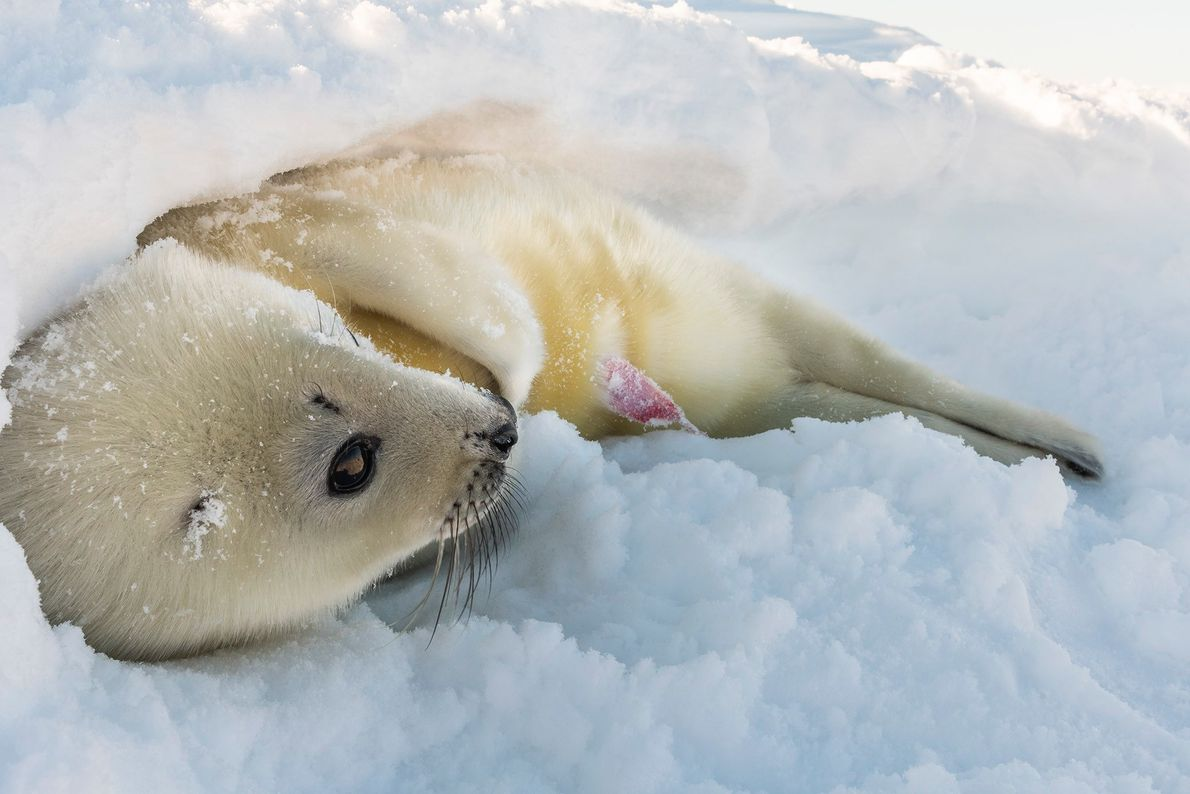 The harp seal nursery in the Gulf of St. Lawrence, off Québec's Magdalen Islands, is one ...