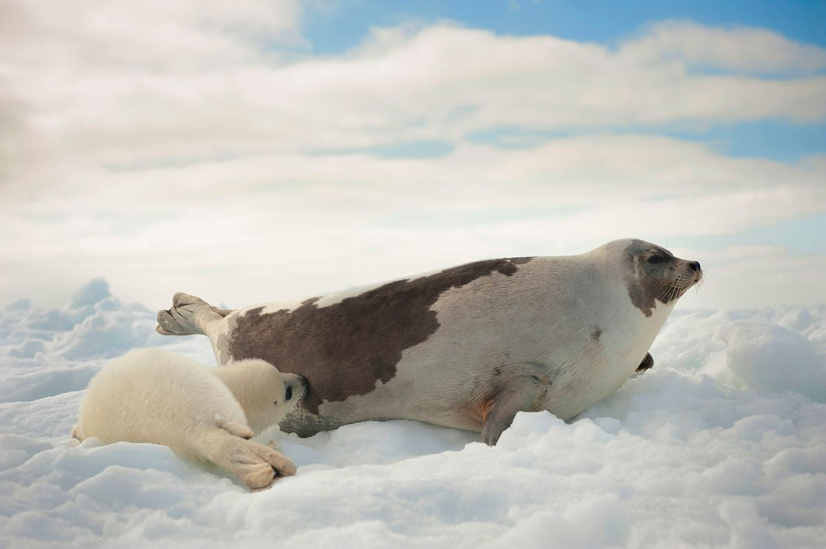 Born on the ice in late February and early March, harp seal pups nurse for 12-15 ...