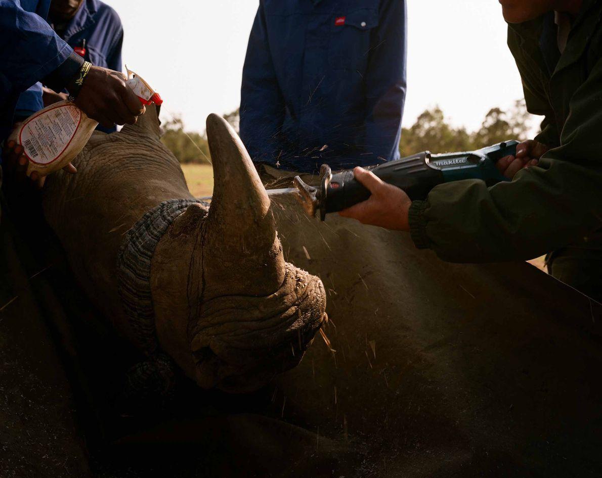 Männer enthornen das Nashorn