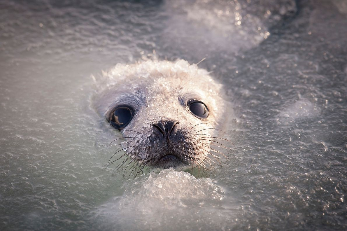 Harp seal pups must learn to swim in the icy waters soon after they're born.