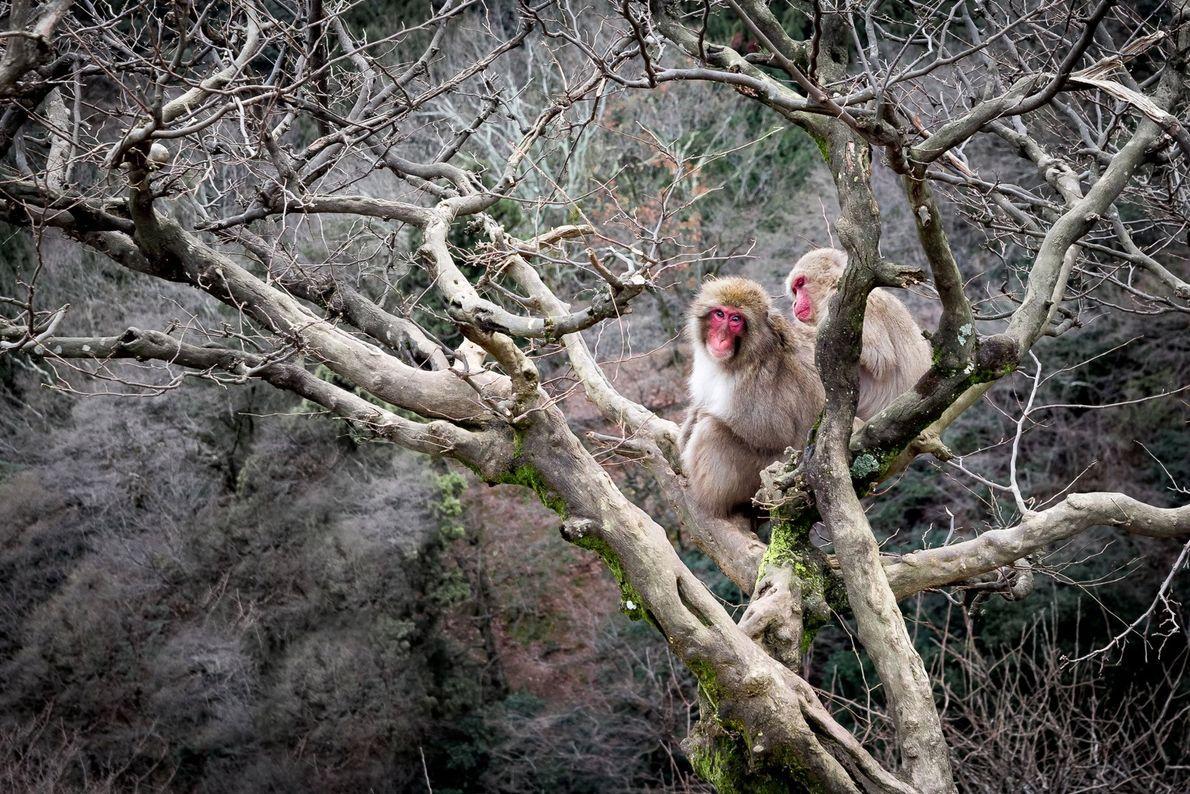Zwei Japanmakaken bei der gegenseitigen Fellpflege. Im besucherfreundlichen Iwatayama Monkey Park auf dem Arashiyama lebt eine ...