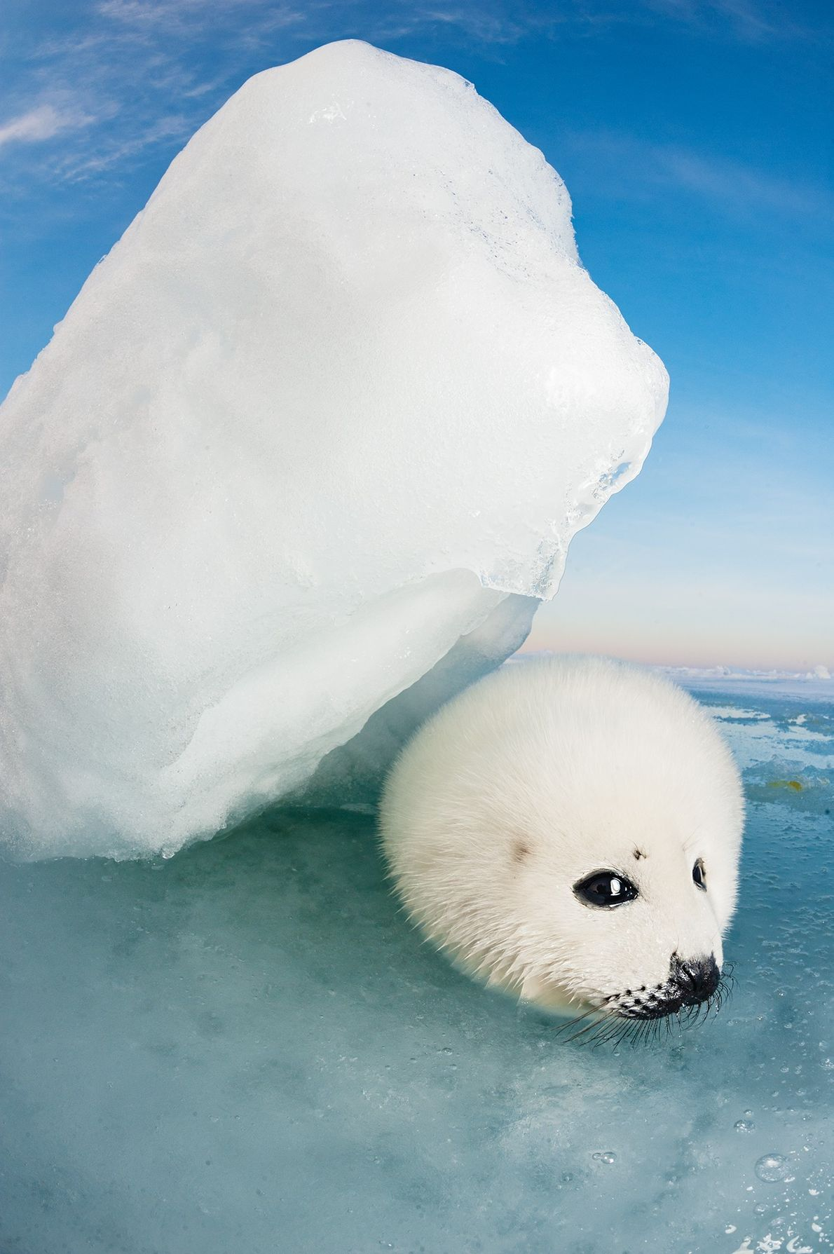With obsidian eyes, charcoal noses, and cloud-soft fur, the young seals are among the most captivating ...