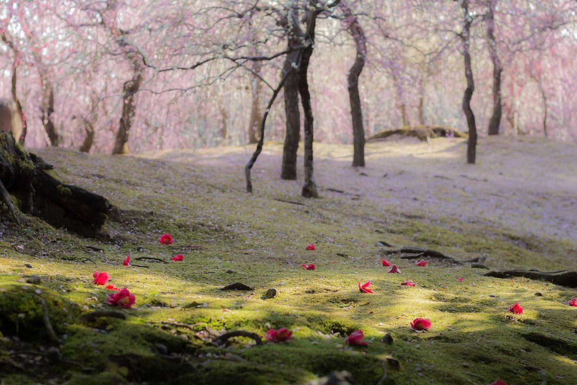 Kirsch- und Kamelienblüten zieren das grüne Moos in Kyotos zahlreichen Gärten.