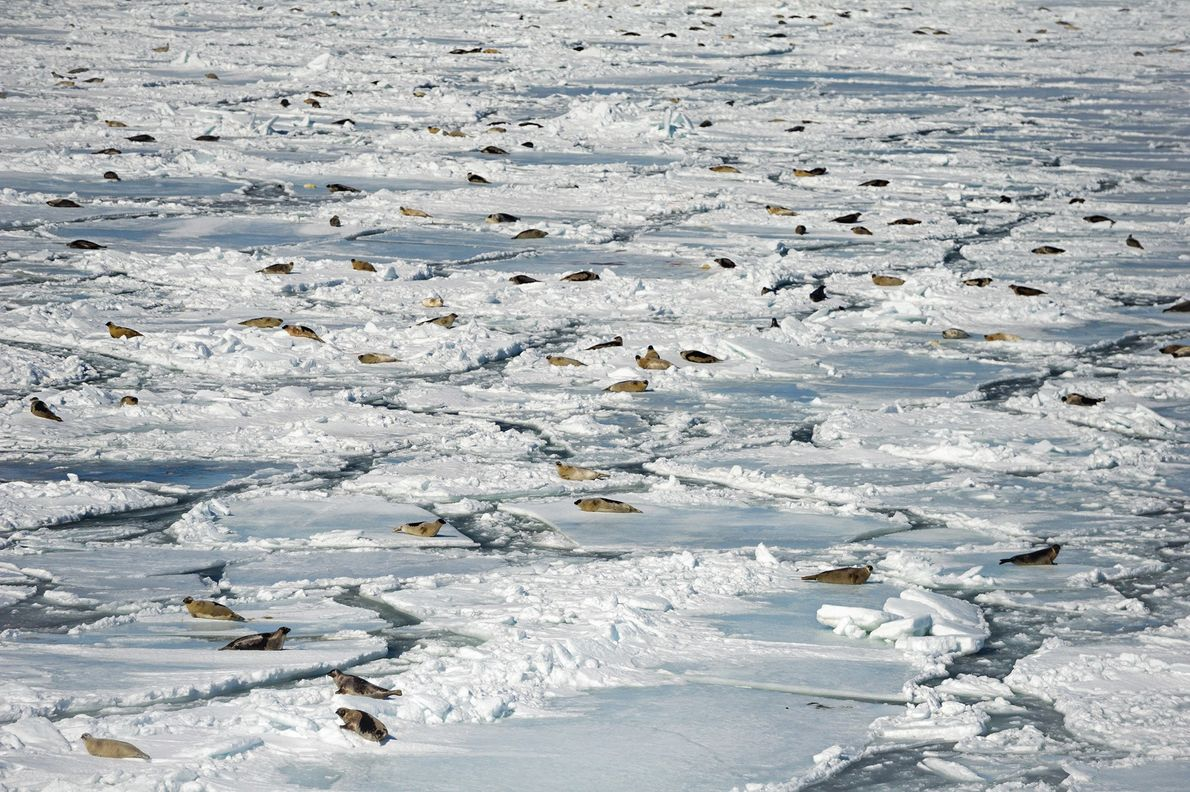 In a herd of harp seals, the ultra-white newborns are hard to see.