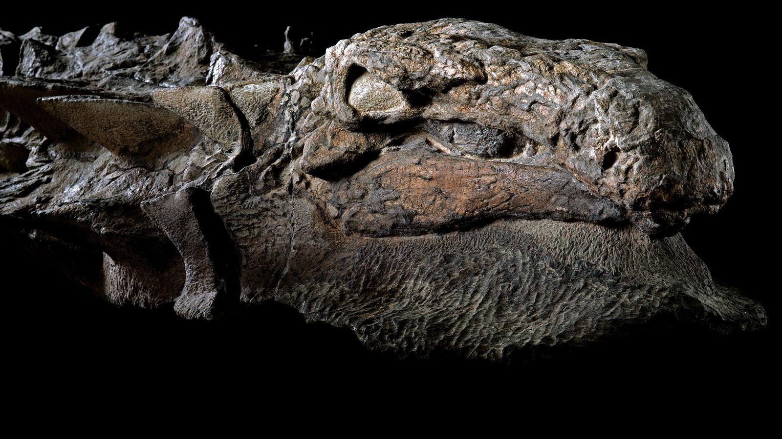 Rechte Seite des Nodosaurus