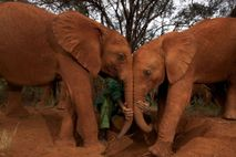 Gemessen an ihrer enormen Körpergröße und ihrer langen Lebenserwartung, haben Elefanten eine erstaunliche niedrige Krebsrate. Forscher ...