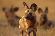 Einige Wildhunde, wie der hier abgebildete im Selinda Reserve in Botswana, nutzen womöglich Niesen, um darüber ...