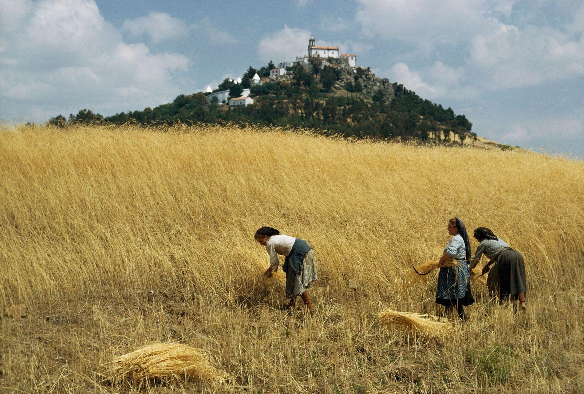 Im portugiesischen Trás-os-Montes ernten Frauen Weizen mit Sicheln.