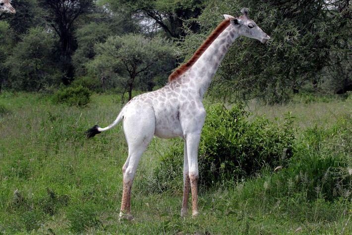 Weiße Giraffe