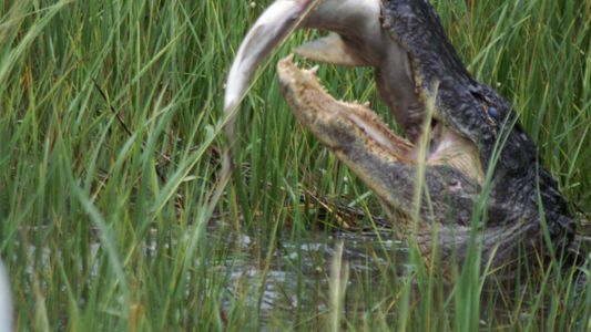 Studie bestätigt: Alligatoren machen Jagd auf Haie
