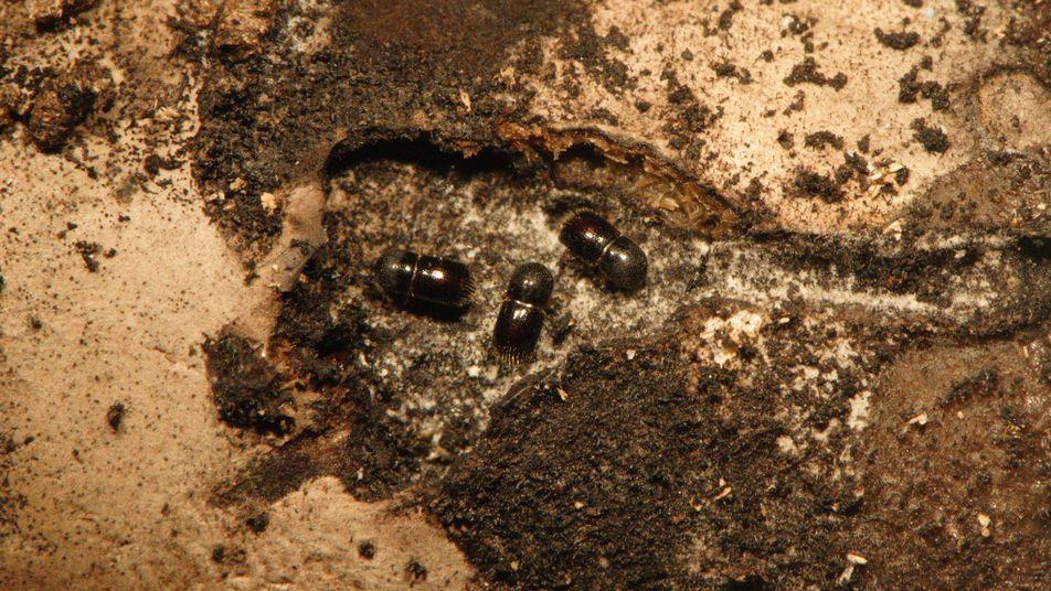 Käfer bauen Nahrung in alkoholdurchtränkten Bäumen an