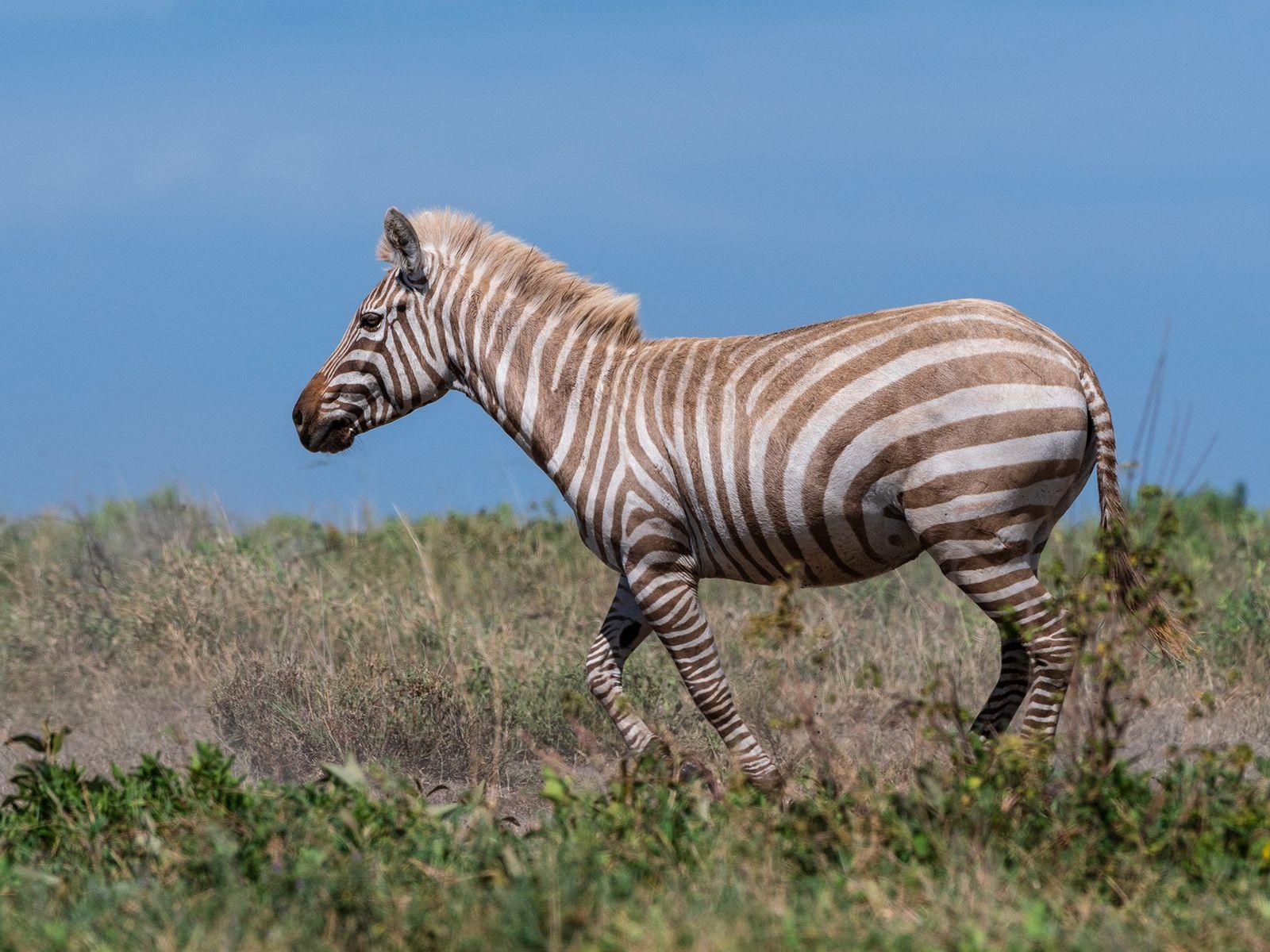 Ein extrem seltenes Zebra mit Albinismus durchquert ein Tal im Serengeti-Nationalpark. Es gibt ein paar wenige ...