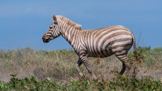 "Erstes ""goldenes"" Zebra in der Wildnis dokumentiert"