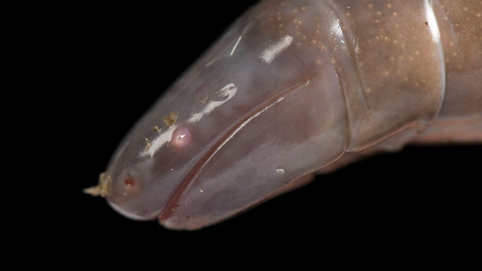 Dermophis mexicanus