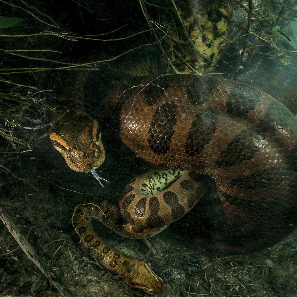 Einmaliges Foto: Anakonda erwürgt ihren Partner nach der Paarung