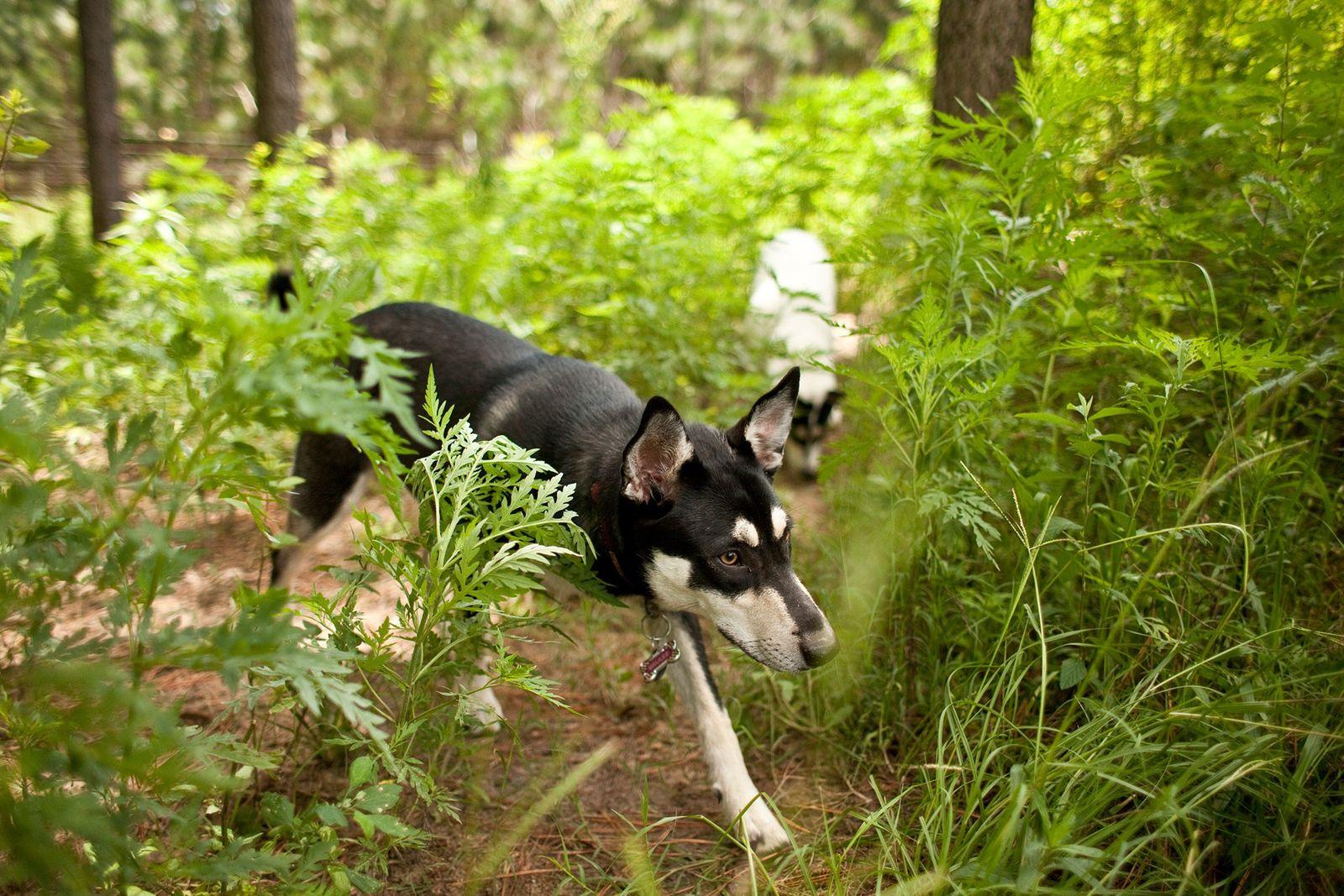 Carolina Dogs wird oft eine Abstammungslinie bis zu den frühen amerikanischen Hunden zugeschrieben. Ein neuer Bericht ...