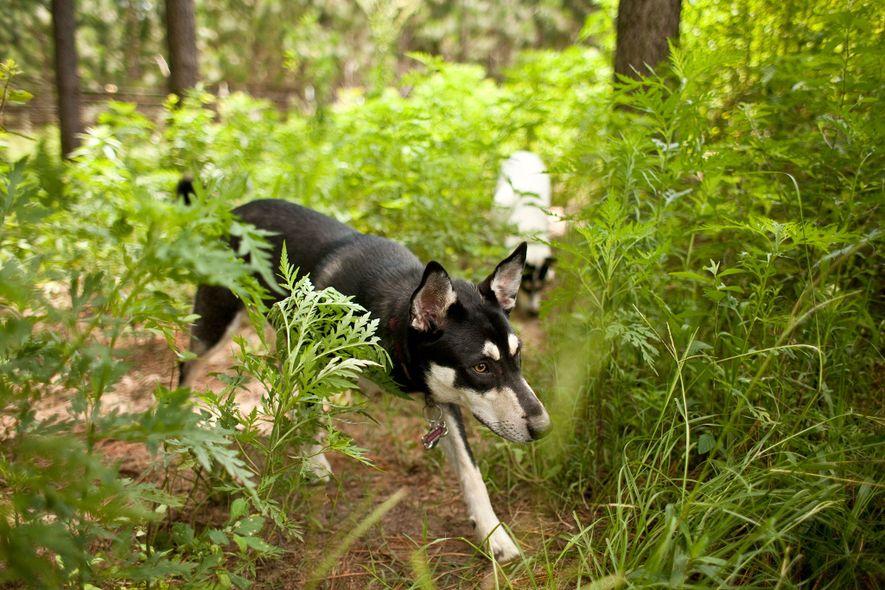 Wohin verschwanden die ersten Hunde Amerikas?