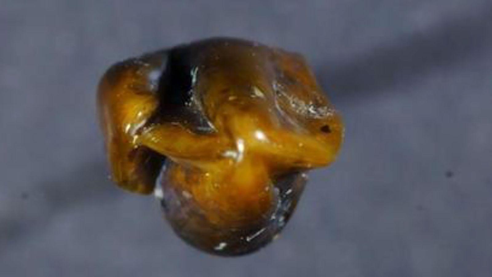 Laut Forschern ist dieser Zahn, der kürzlich an einer Fossilfundstelle in Deutschland entdeckt wurde, der linke ...
