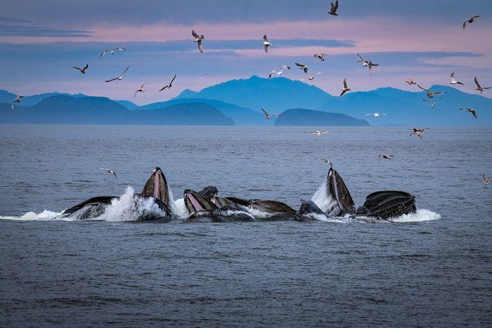 Buckelwale erzeugen vor Alaska einen Luftblasenvorhang. Dort wird dieses Jagdverhalten eingehend beobachtet und erforscht.