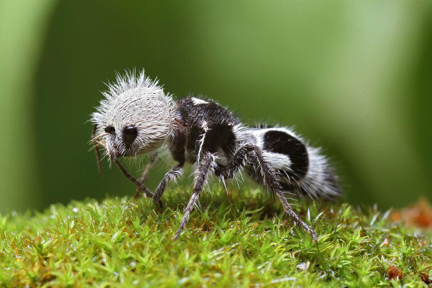 """Diese """"Pandaameise"""" ist weder Panda noch Ameise, sondern eine in Chile heimische Wespe."""