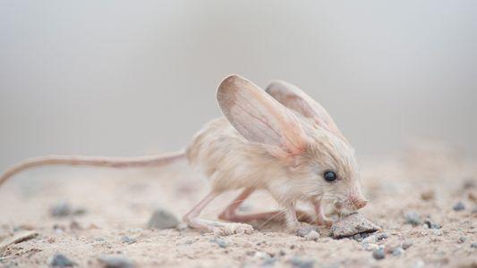 Lauschangriff: Die größten Ohren der Welt