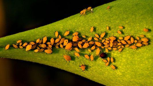 Dieses Insekt wird schwanger geboren