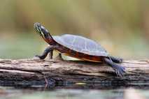 Eine Zierschildkröte nimmt am West Stoney Lake in Nova Scotia ein Sonnenbad.