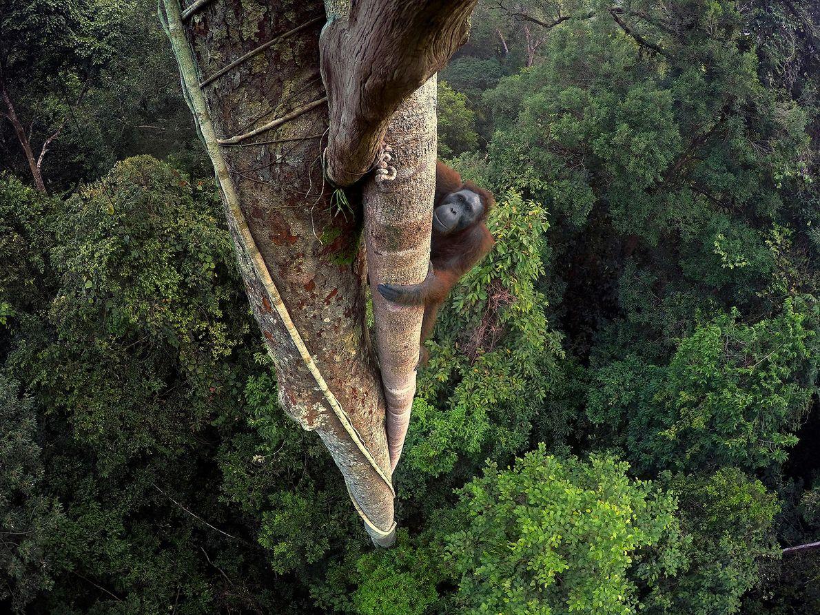 Die Früchte eines Feigenbaumes locken einen Borneo-Orang-Utan 30 Meter hoch in die Baumkronen Borneos, Indonesien.