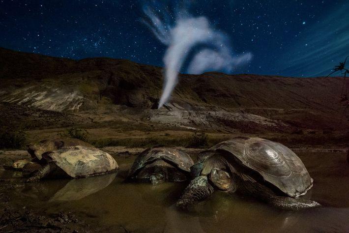 Galápagos-Riesenschildkröten ruhen sich in einem Schlammtümpel im Krater des Vulkans Alcedo auf der Insel Isabela aus. ...