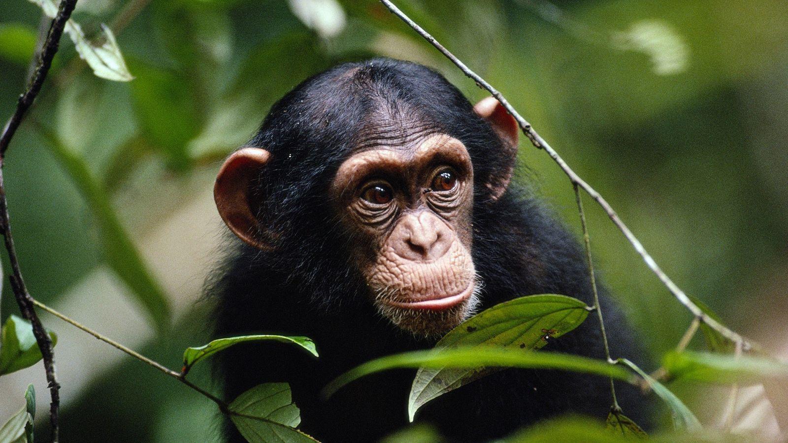 Schimpansen greifen mitunter Artgenossen an, die sichtbar krank sind, und vertreiben sie aus ihrer Gruppe.