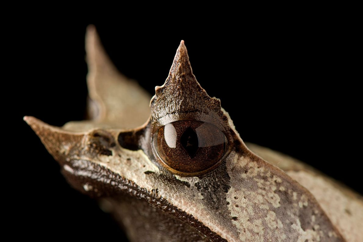 Die oberen Augenlider und die Schnauze des malaysischen Zipfelkrötenfroschs (Megophrys nasuta) laufen spitz zu und sehen ...