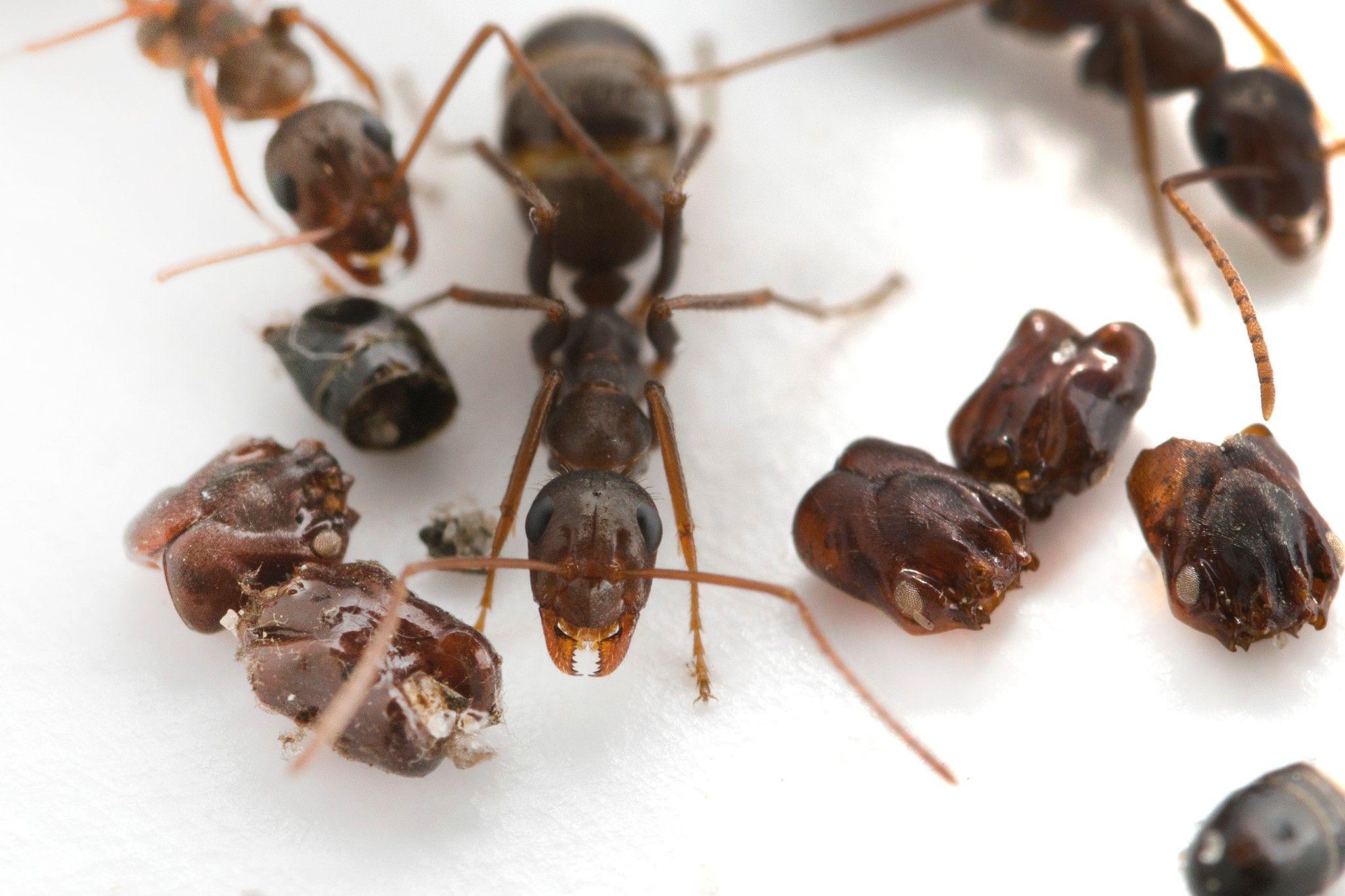 Diese Ameisen schmücken ihr Zuhause mit den Köpfen ihrer Feinde | National Geographic