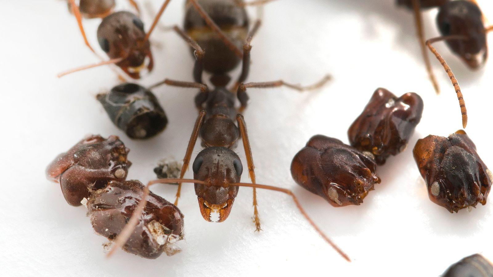Diese in Florida beheimatete Ameisenart Formica archboldi sammelt die Schädel ihrer Feinde – Wissenschaftler sind sich ...