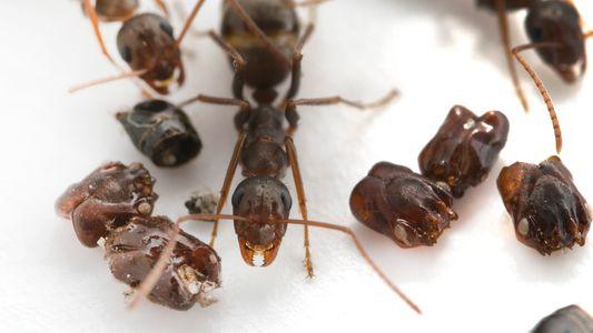 Diese Ameisen schmücken ihr Zuhause mit den Köpfen ihrer Feinde
