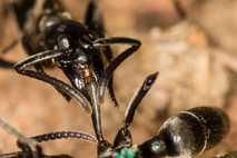 Die Ameise links im Bild behandelt ihren verletzten Artgenossen: Sie hält dessen verletztes Bein mit ihren ...