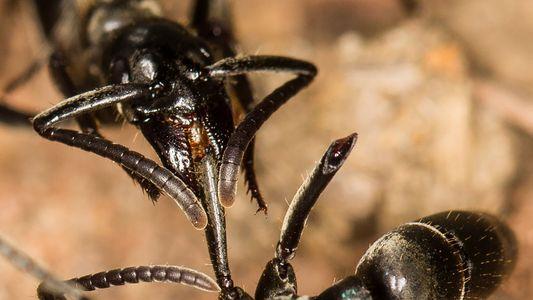 Ameisen retten verletzte Artgenossen und behandeln ihre Wunden