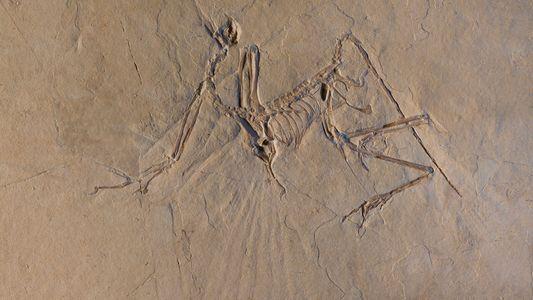 Archaeopteryx konnte vermutlich fliegen – aber anders als heutige Vögel