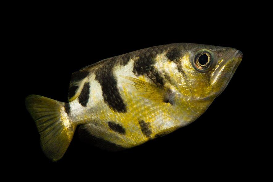 Es gibt zehn Arten von Schützenfischen. Alle von ihnen spritzen einen Wasserstrahl durch die Luft, um ...