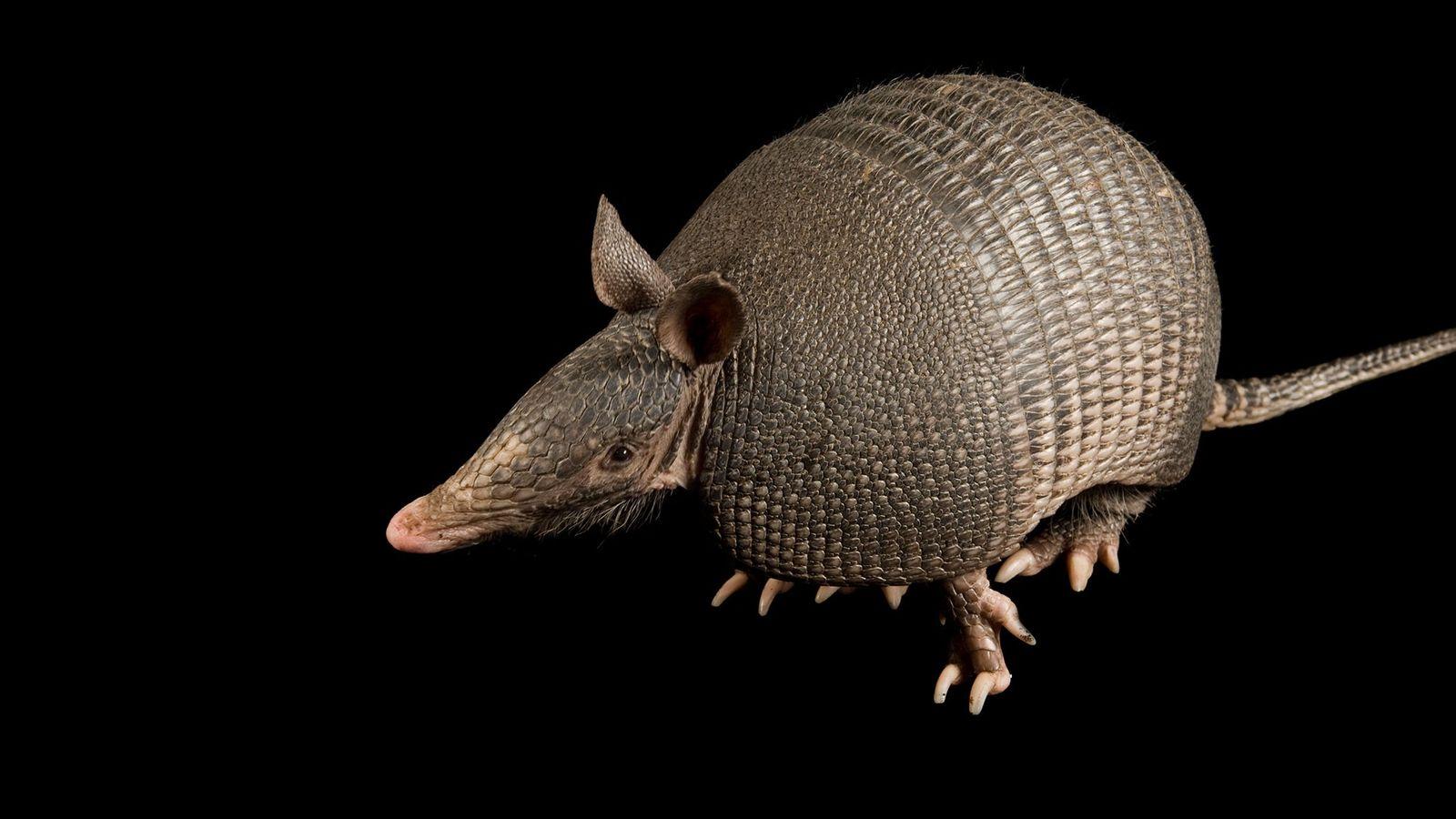 Die meisten untersuchten Neunbinden-Gürteltiere im brasilianischen Bundesstaat Pará zeigten Anzeichen dafür, dass sie Leprabakterien ausgesetzt waren.