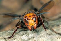 Asiatische Riesenhornissen (Vespa mandarinia) wurden um US-Bundesstaat Washington gesichtet.