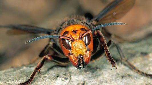 Riesenhornissen: Stachelige Invasoren bedrohen heimische Arten