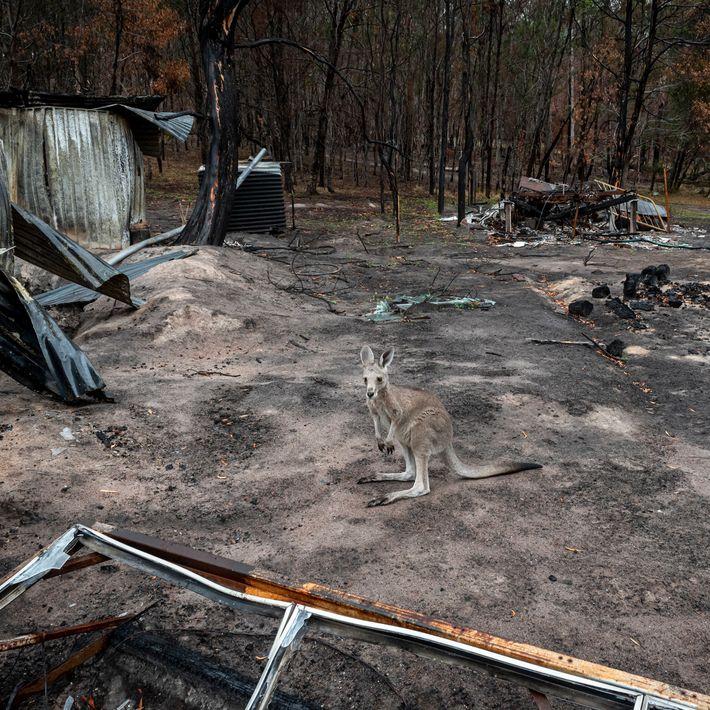 Ein gerettetes Östliches Graues Riesenkänguru steht im Februar 2020 auf dem verbrannten Gelände einer Tierauffangstation. Kurz ...