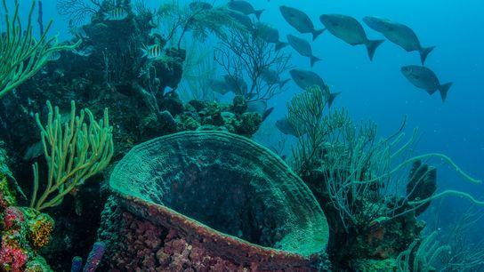 Ein Hornkieselschwamm wächst in einem Korallenriff in Belize. Der menschliche Einfluss auf das karibische Meer könnte ...