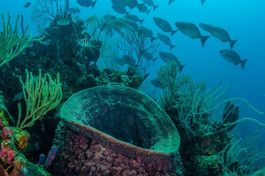 Schwämme und Algen ersticken die Korallenriffe der Karibik